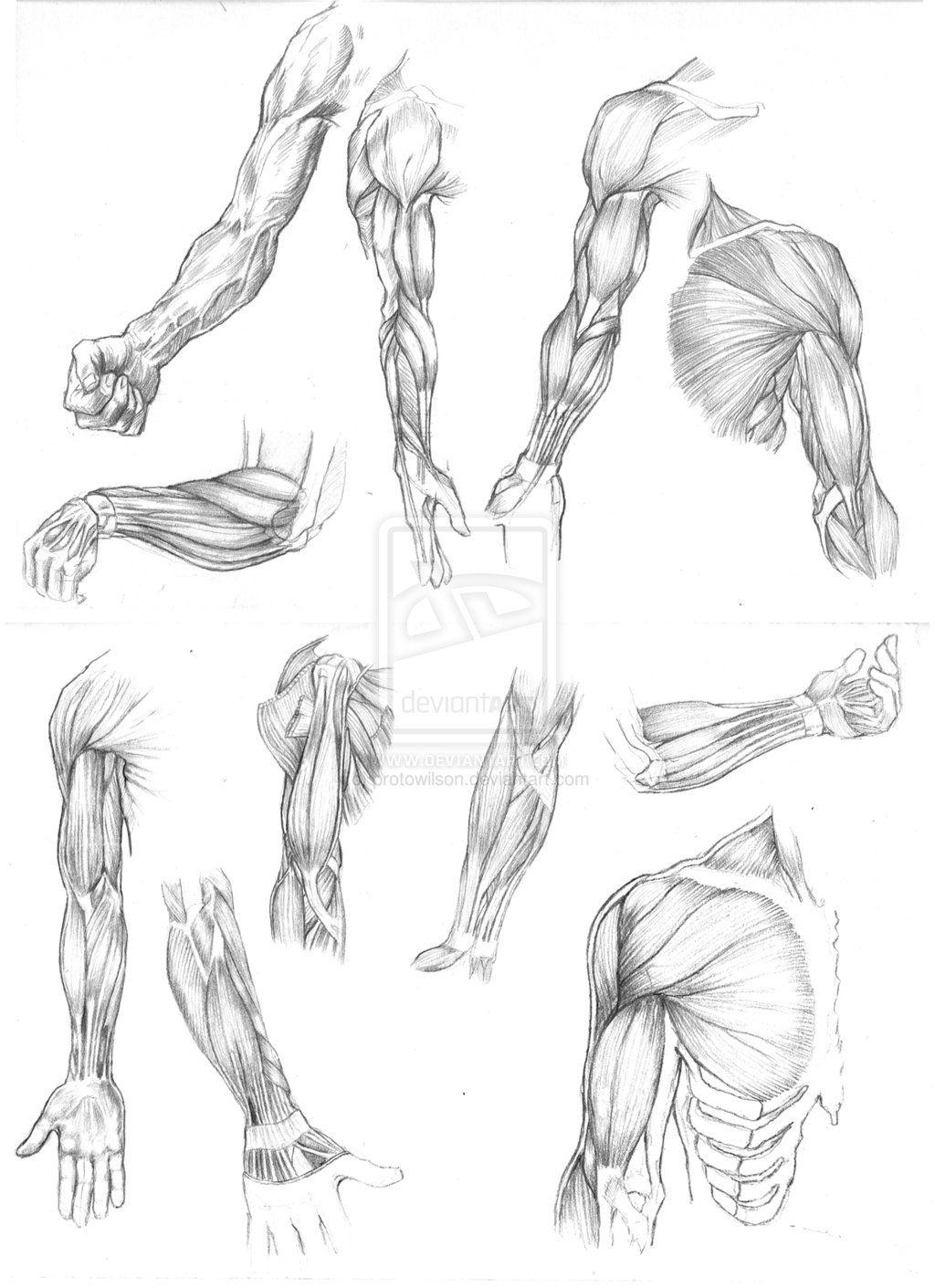Muscle anatomy drawing