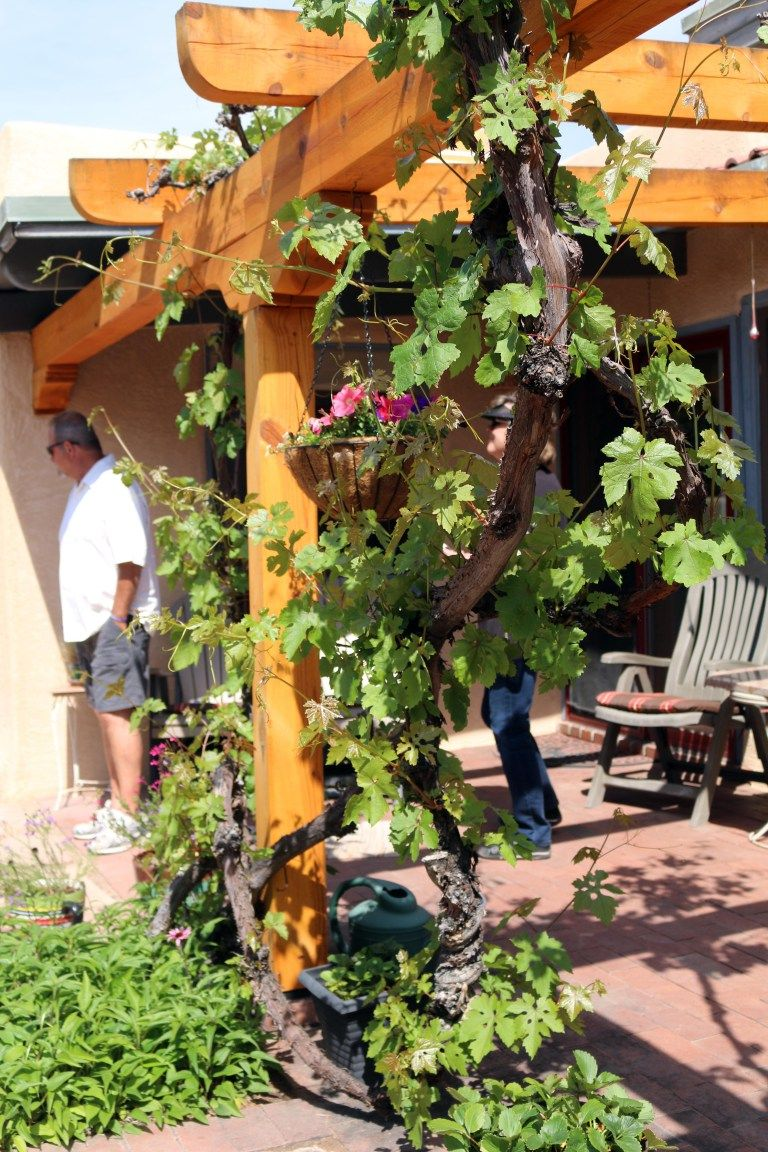 This is a simple trellis or arbor for grape vines. After a ...