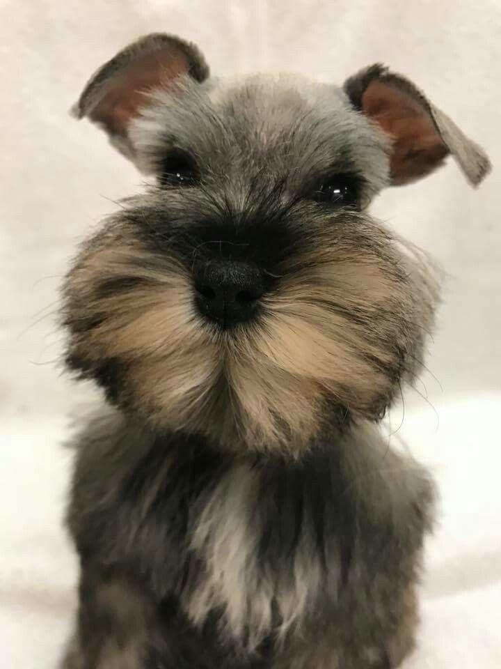 There Are Some Adorable Schnauzers But This Little Girl Is A Little Doll Baby Already Sold By Southern Pride Sch Miniature Schnauzer Schnauzer Puppy Schnauzer