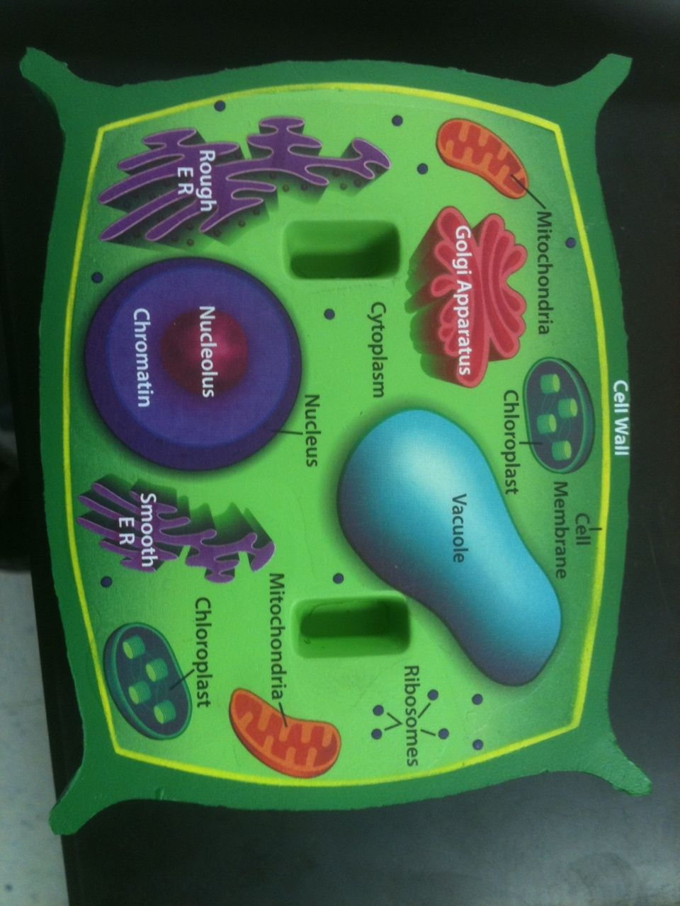 Photos 3d Plant Cell Diagram From Textbook Animal Cell Plant Cell