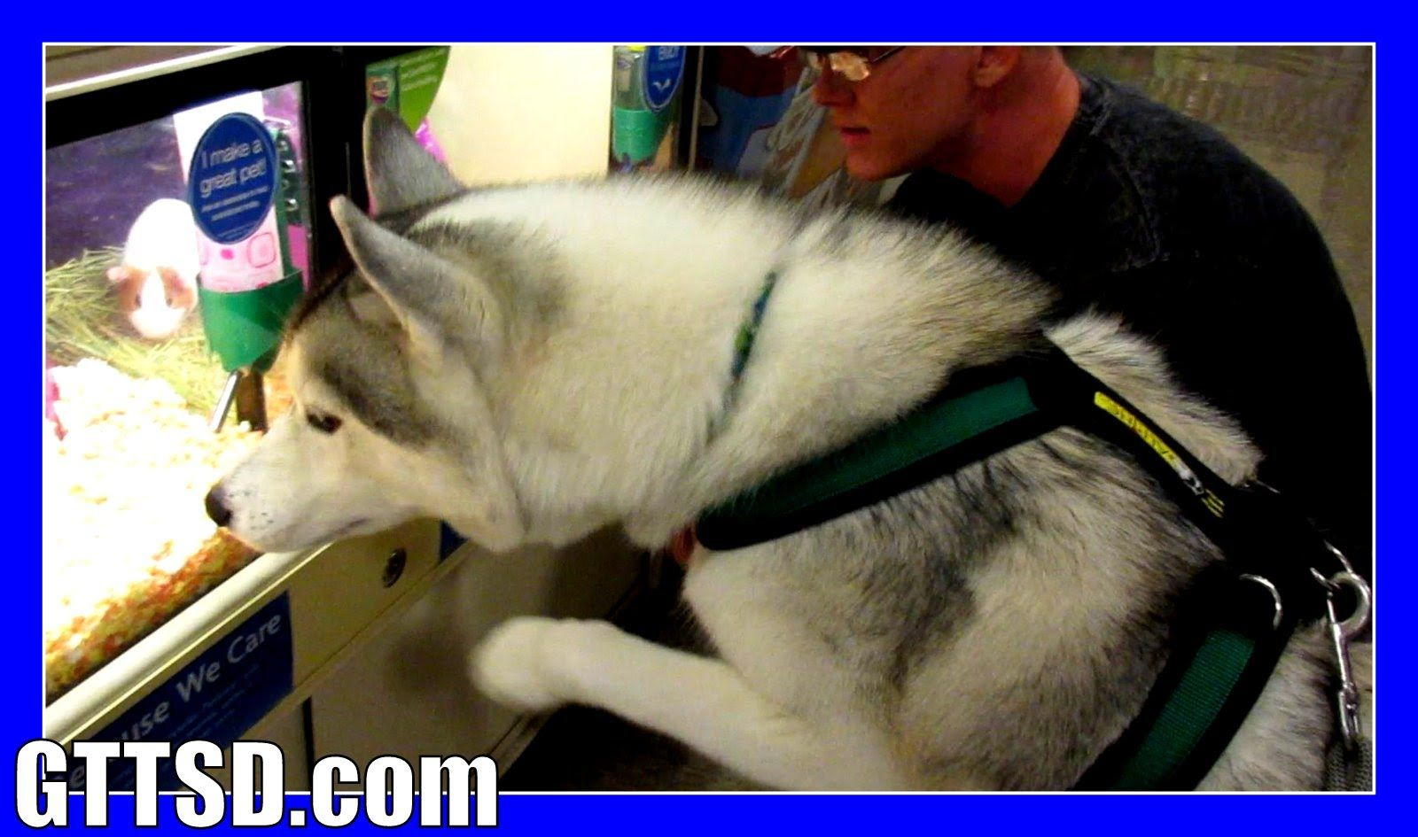 Memphis and Nora at PetSmart HUSKY GOES SHOPPING