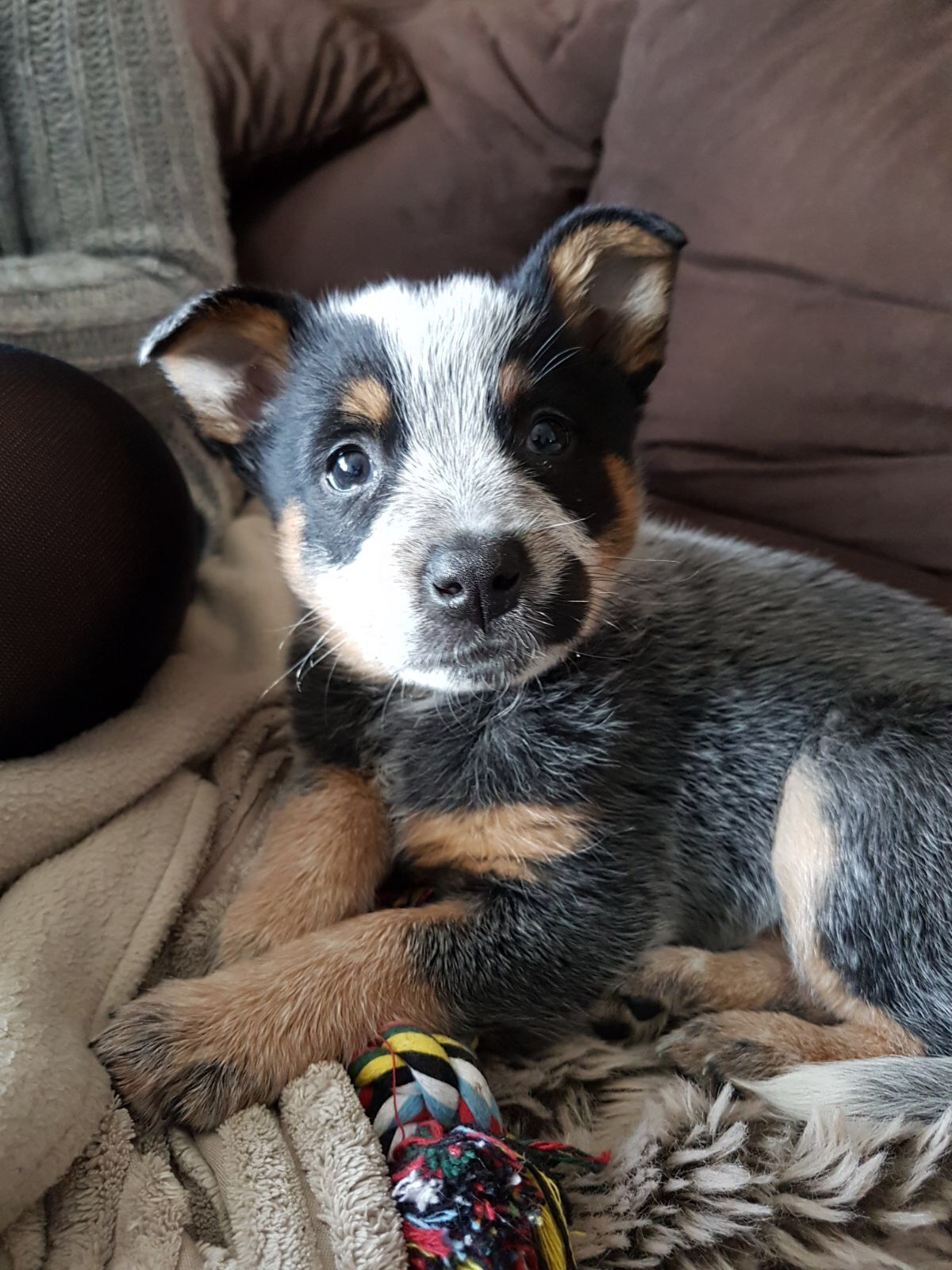 Our Australian Cattle Dog Pup Kip With Images Austrailian Cattle Dog Heeler Puppies Cattle Dog