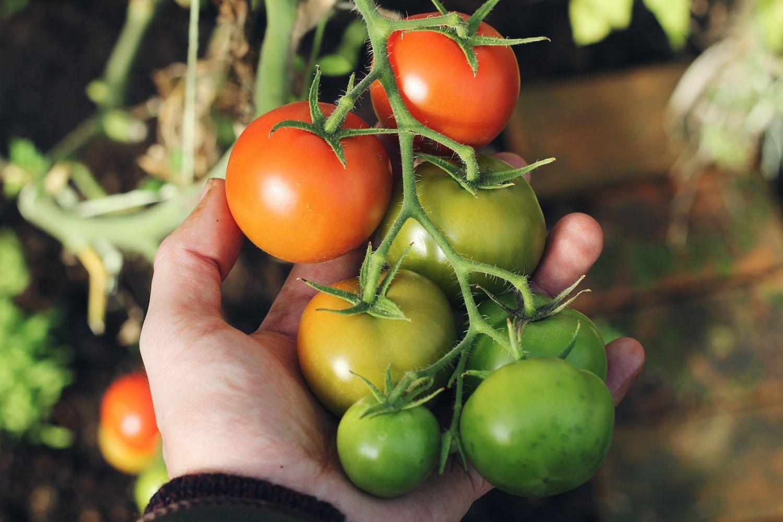 Comment Faire Ses Plants De Tomates Soimême? en 2020