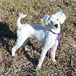 Adopt Donatello On Italian Greyhound Poodle Rescue Dogs