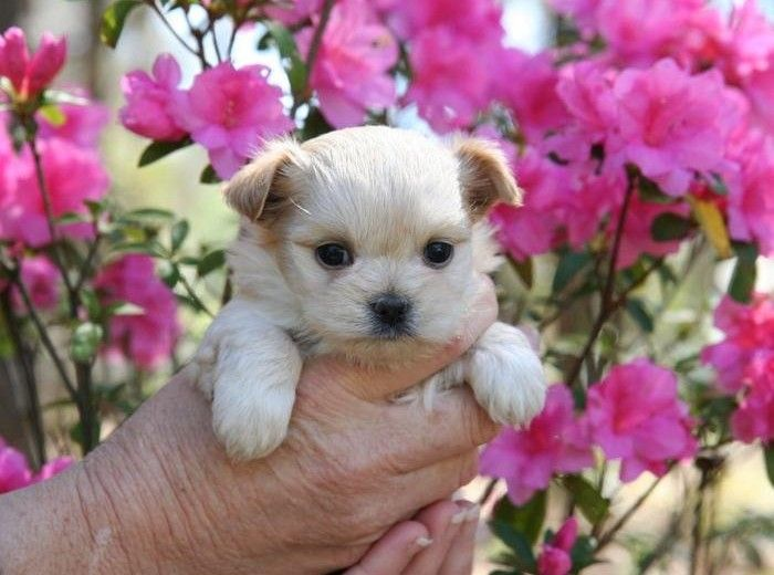 Pictures of miki puppies and their parents Cute animals