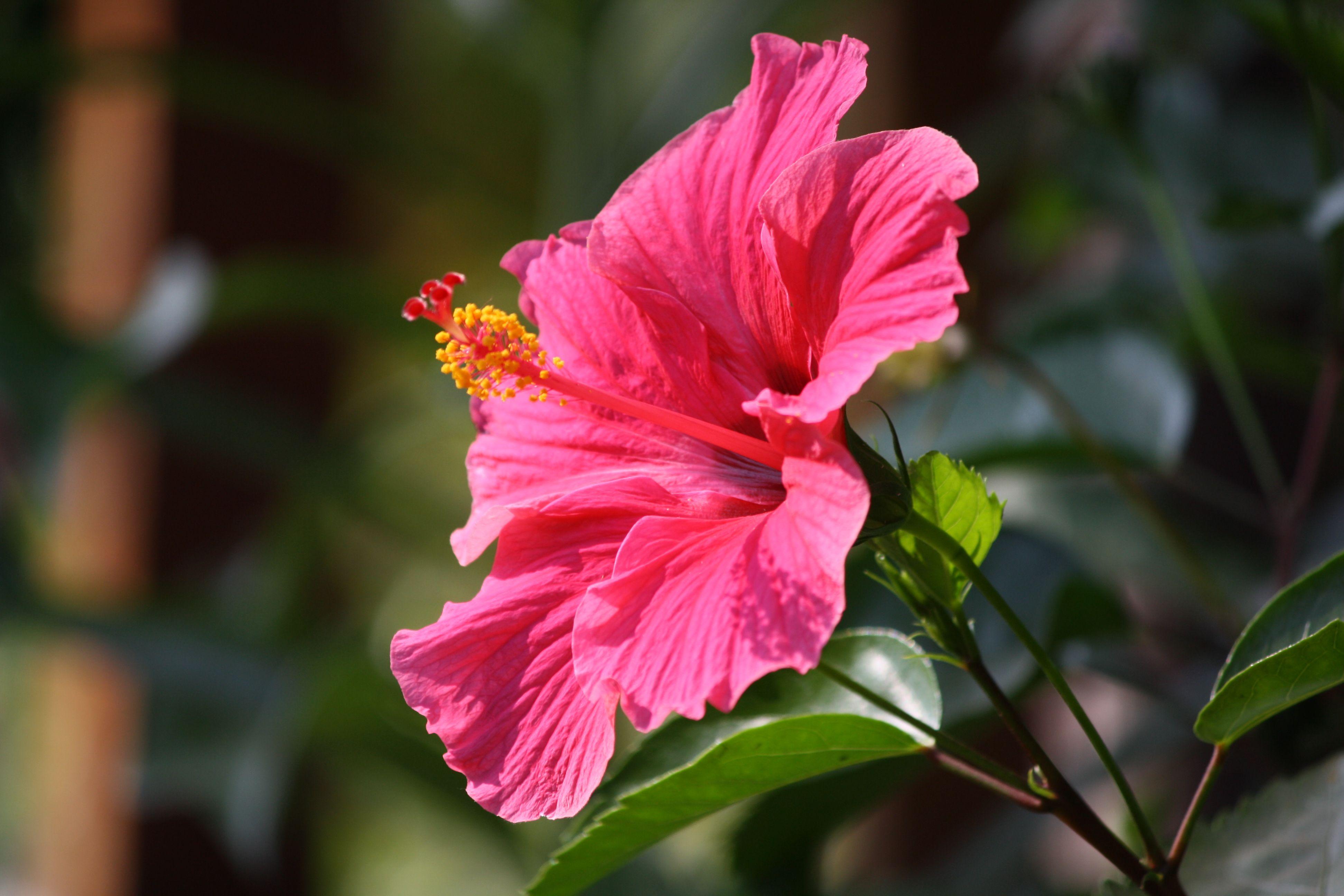 English Hibiscus, Indian Languages गुड़हल/ओढ़उल (Hindi