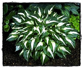 Night Before Christmas Hosta | Plants and things in my yard and ...