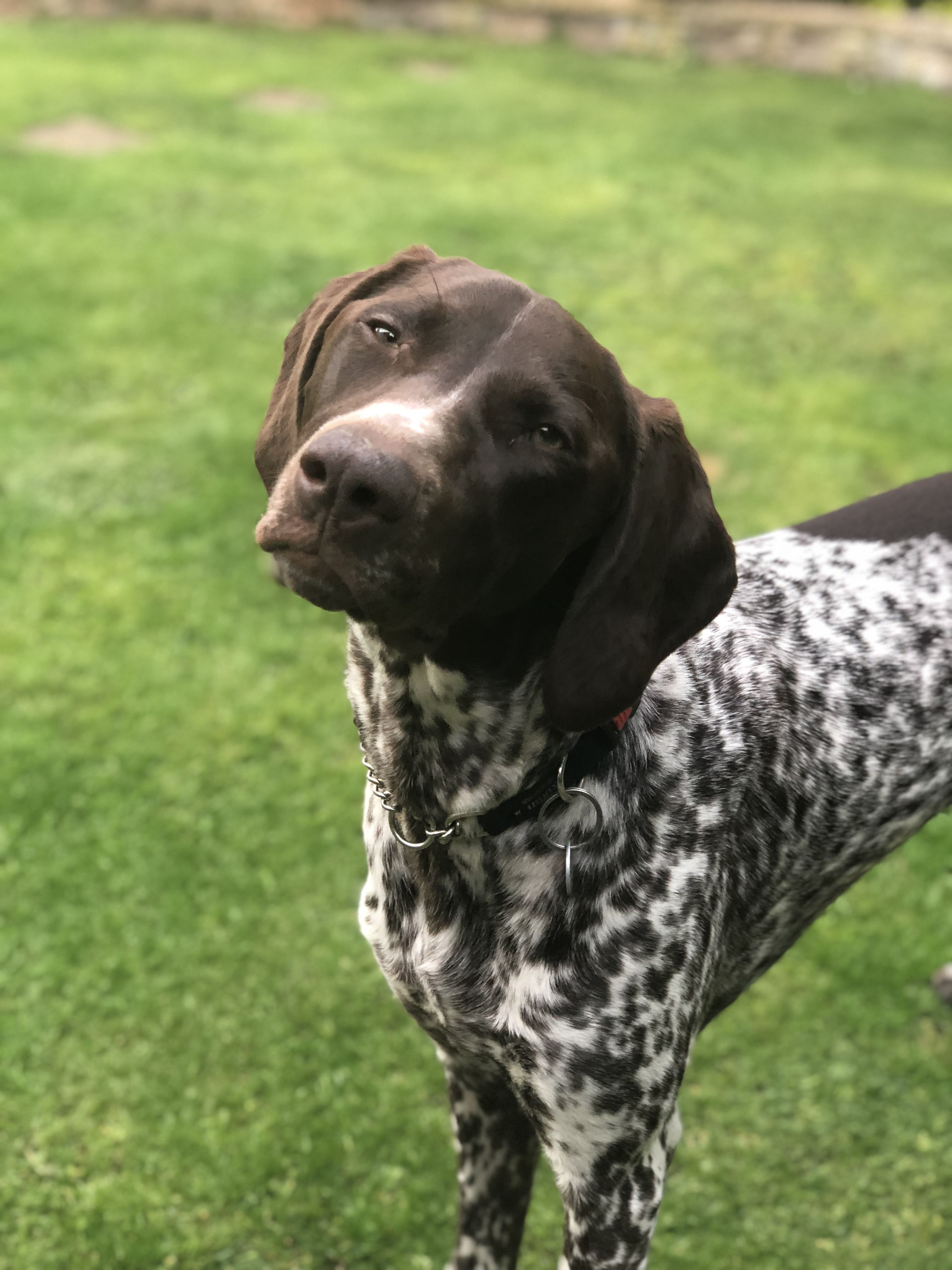 Pin By Paw Lick Design On My German Shorthaired Pointer German Shorthaired Pointer Dog German Shorthaired Pointer German Shepherd Puppies