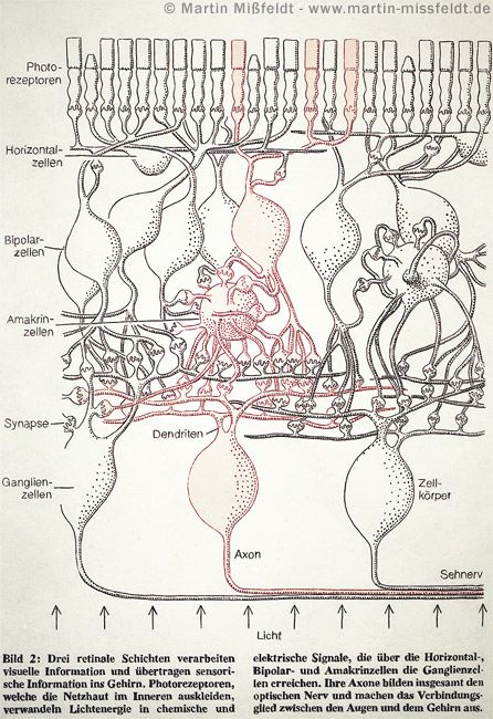 layers of the retina | Science | Anatomy, Human | Pinterest ...