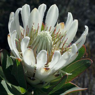 Protea COMPACTA semi-Bot River Protea