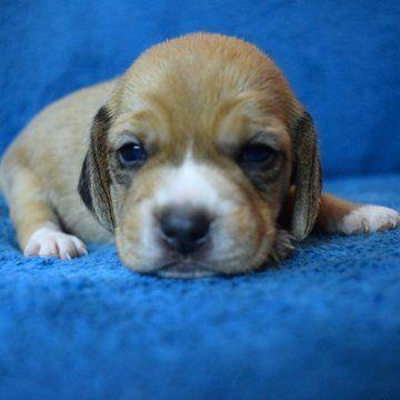 Beagle Puppy For Sale In Chattanooga Tn Adn 25793 On Puppyfinder