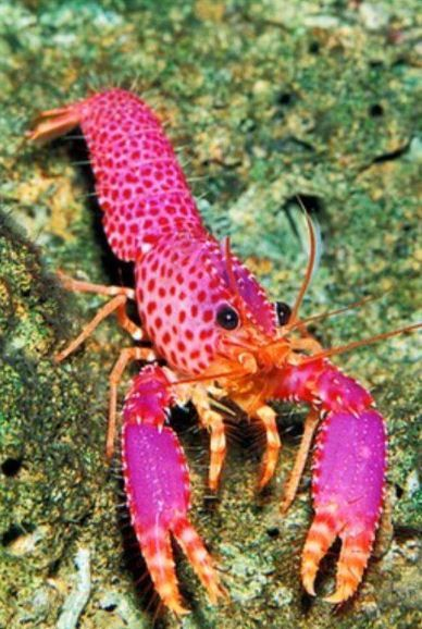 Pink Lobster - by Discover Ocean #Crab