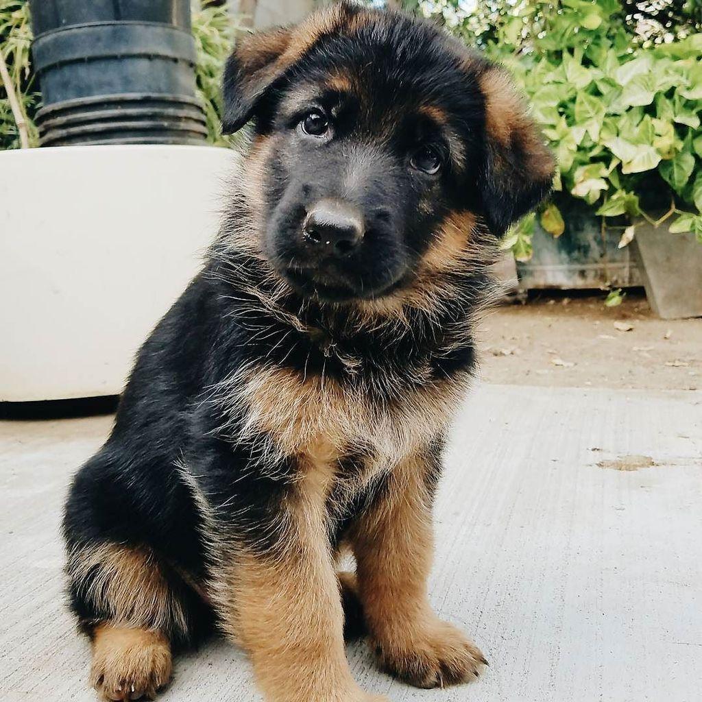 Gsd Puppy Buddy