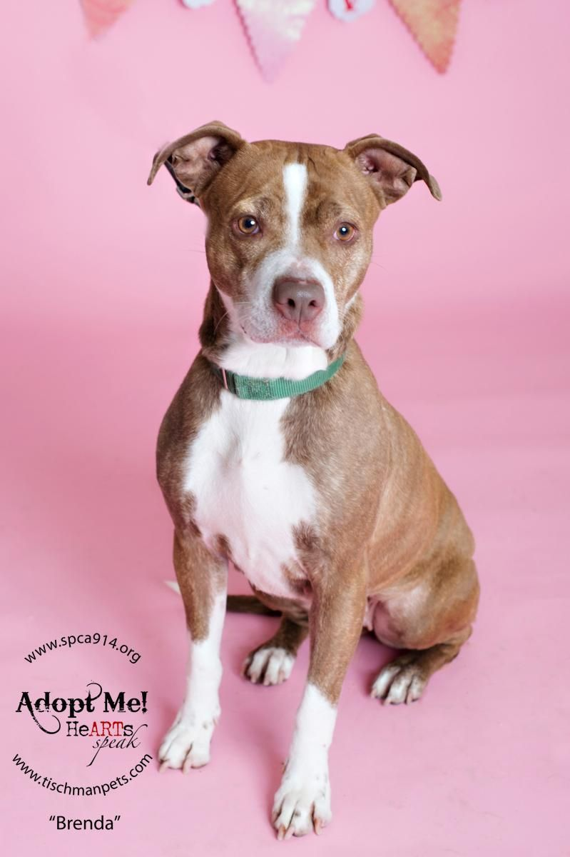 Adopt Brenda on Adoption, Dog adoption, American