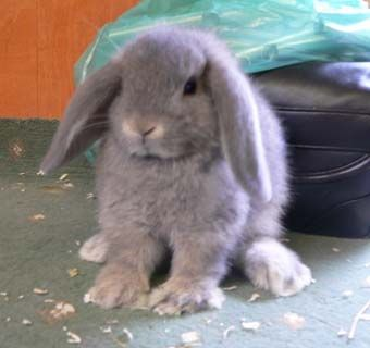 Mini Lop Rabbits For Sale Cute Baby Bunnies Pet Bunny Rabbits For Sale