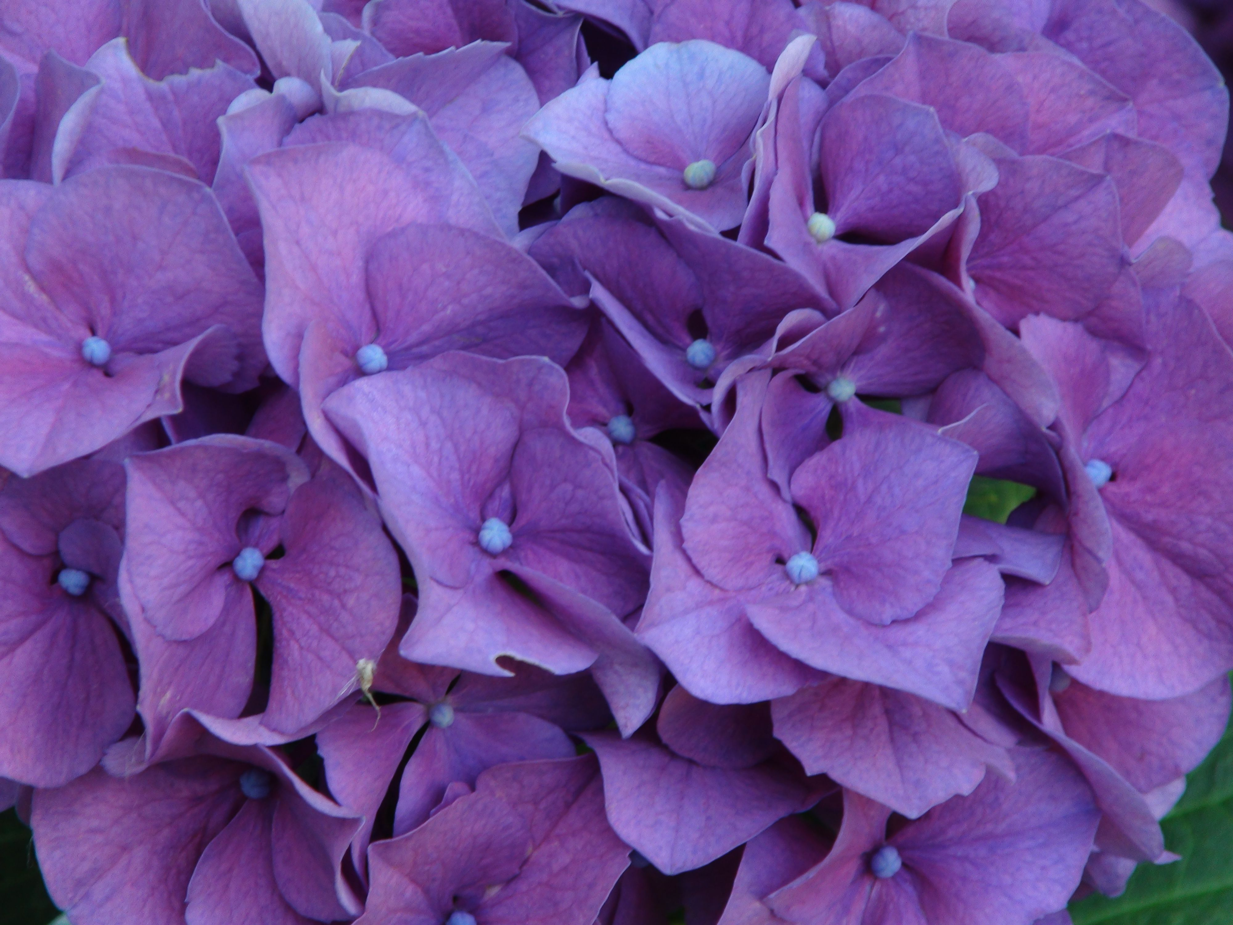 Our hydrangeas   2015 artfromperry
