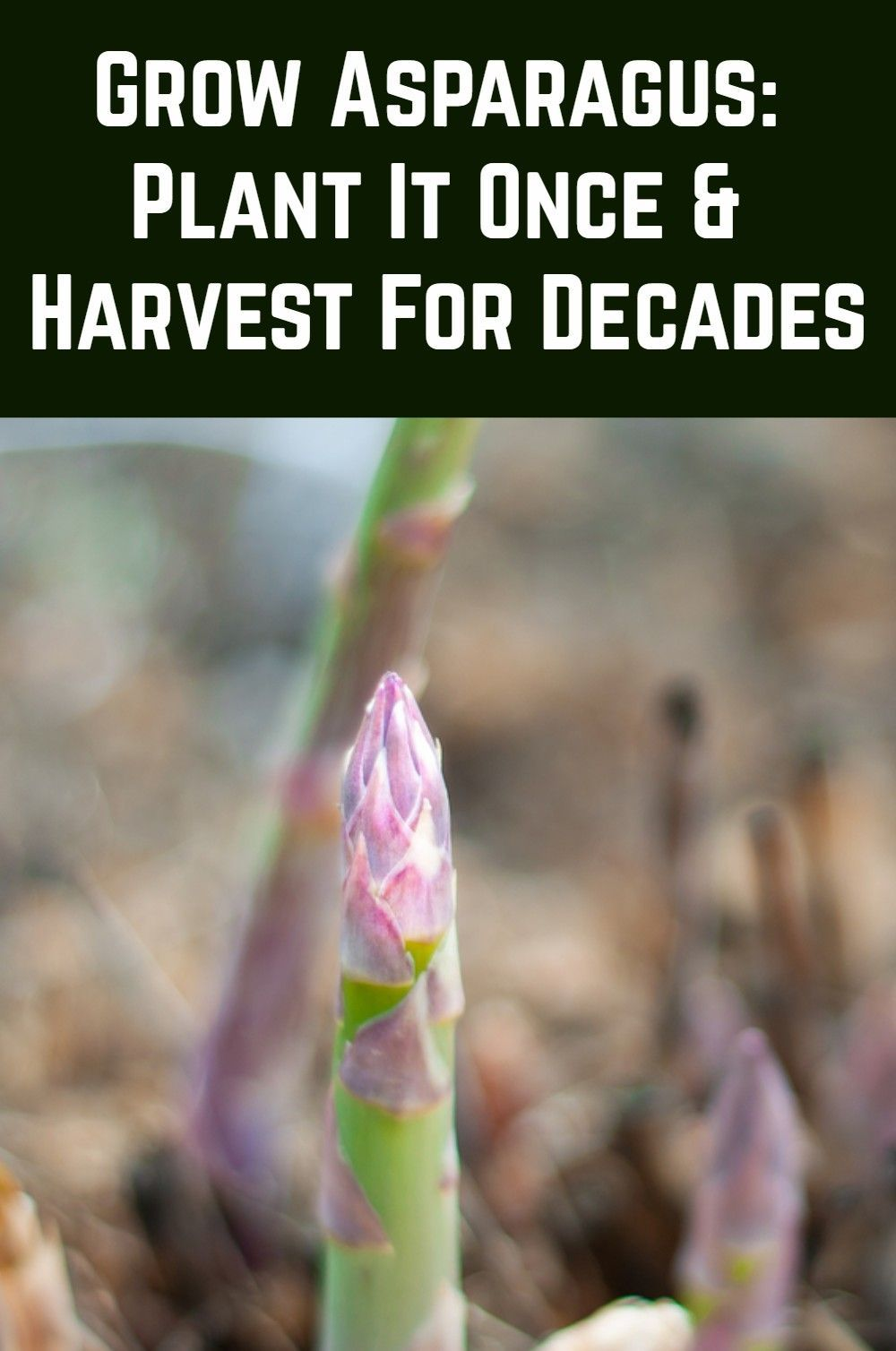 How To Grow Asparagus Plant It Once & Harvest For Decades is part of Growing asparagus, Plants, Veggie garden, Organic gardening tips, Easy garden, Planting flowers - Growing asparagus (Asparagus officinalis) requires patience but boy, is the payoff worth it  Although it takes up to three years to really get going, this perennial plant will produce a bountiful harvest year after year for up to 30 years