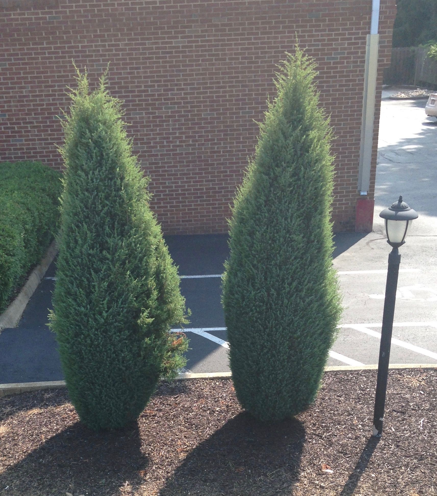 For Skinny Screening Juniper, Arborvitae, Or Cypress Full Sun, Zone