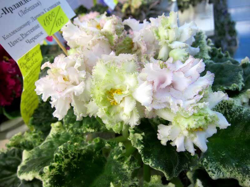 Цветы, сенполия ле-весенний букет