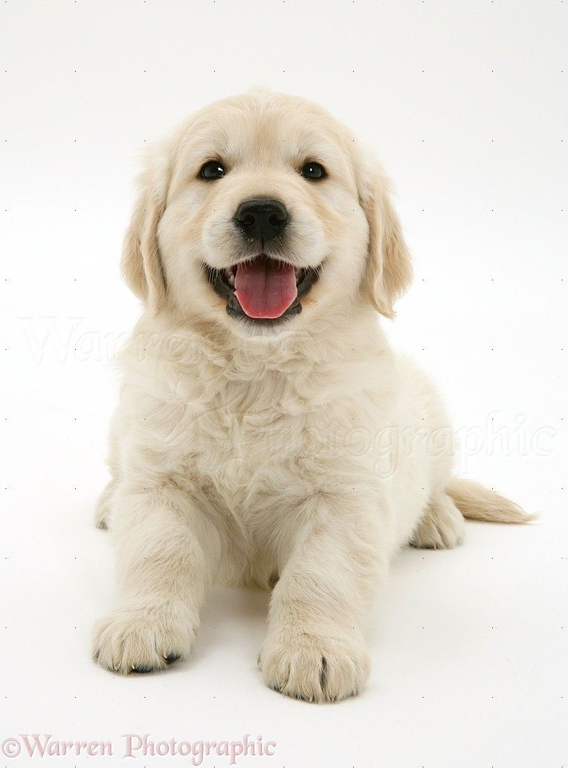 Golden Retriever Puppy Cute Dogs Cute Animals Beautiful Dogs
