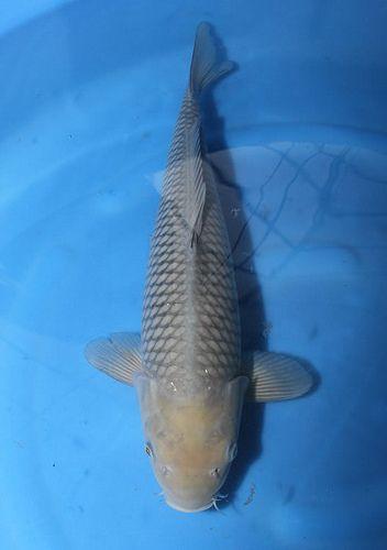 Nisai Maruhiro Soragoi Koi Carp Koi Fish Japanese Koi