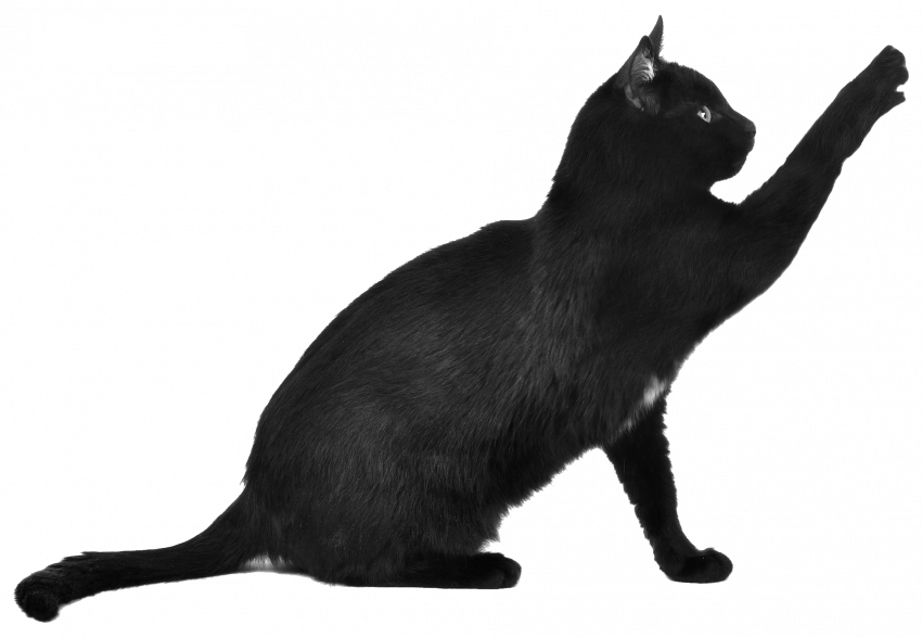 Black Cat Png Transparent Image Black Cat Pngget To Download Free Black Cat Png Vector Photo In Hd Quality Without Limit It Cats Free Cats Cat Silhouette
