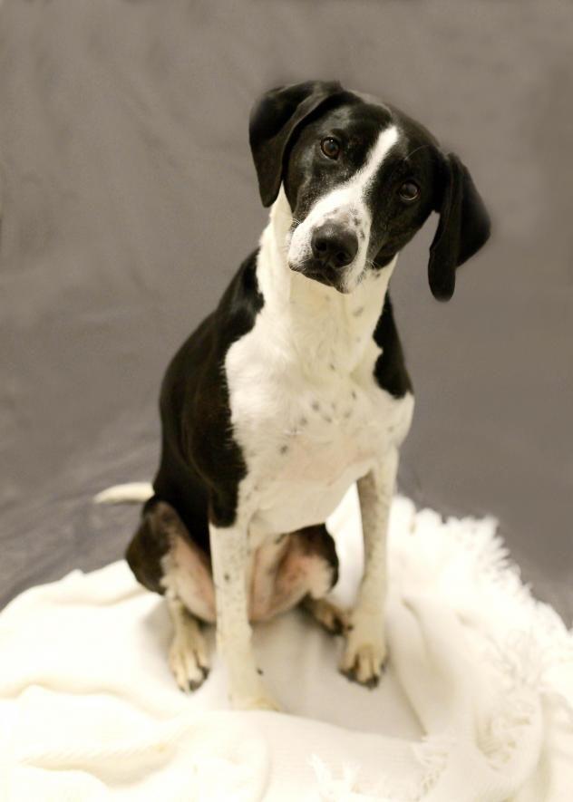 Adopt Asia on Labrador retriever mix, Dogs, Retriever mix