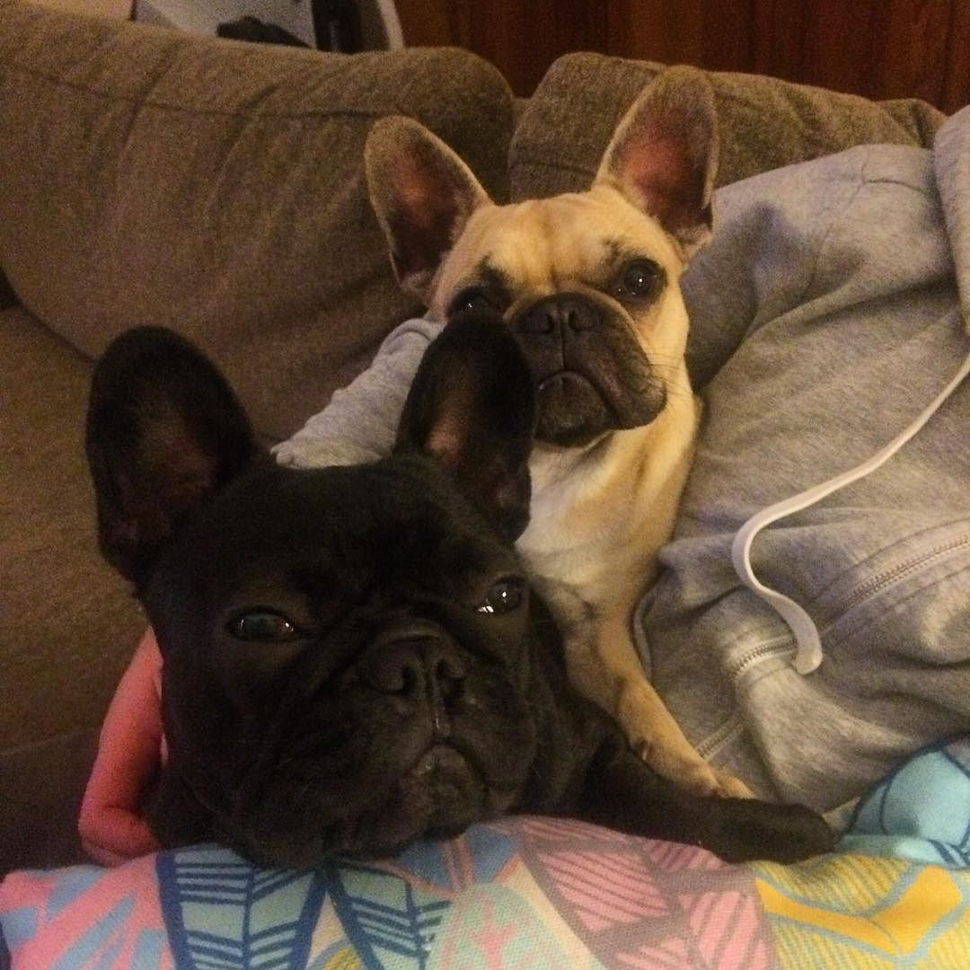 When You Invite A Friend Over For A Bit Of Netflix And Chill Netflixandchill Dog Frenchbulldog Frenchies Puppy With Images French Bulldog French Bulldog Puppy Puppies