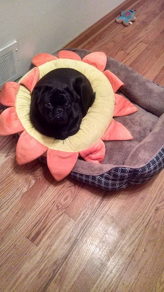 Pug Puppy Prefers His Baby Bed To New Big Dog Bed Big Dog Beds