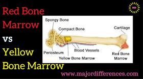 Difference between Red Bone Marrow vs Yellow Bone Marrow ...
