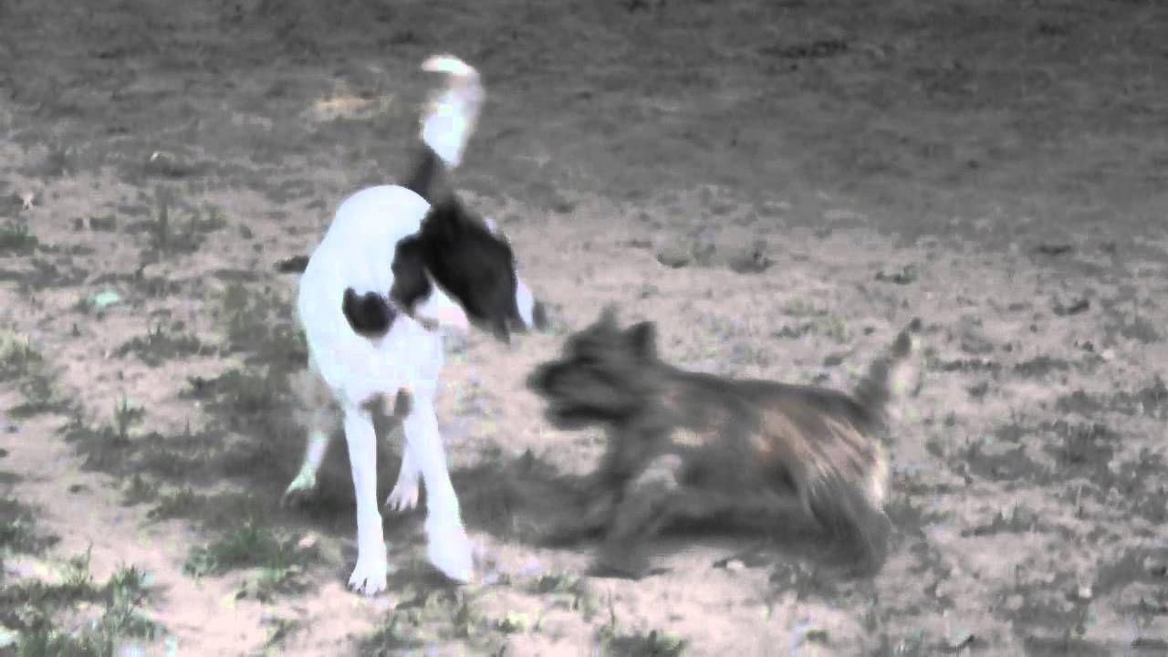 Cairn terrier loves buckeye the hound cairn terrier