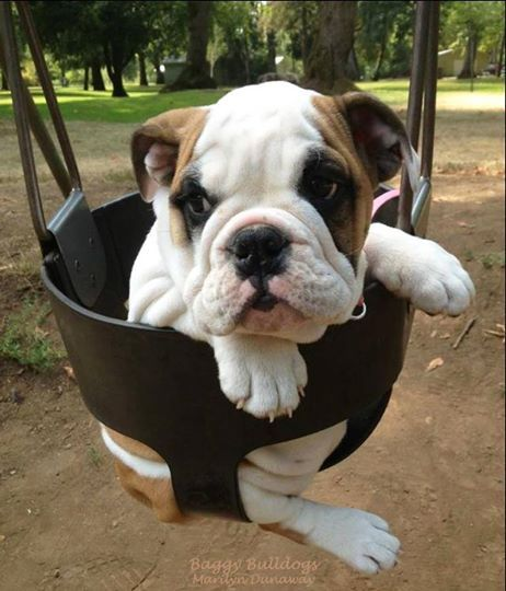 Pin By Anastasia Rose On English Bulldogs Bulldog Puppies Dogs Puppies I Love Dogs