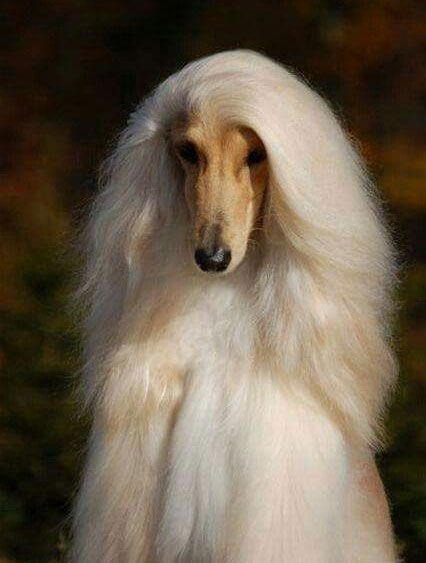 Blonde Afghan Hound Afghan Hound Beautiful Dogs Dogs And Puppies