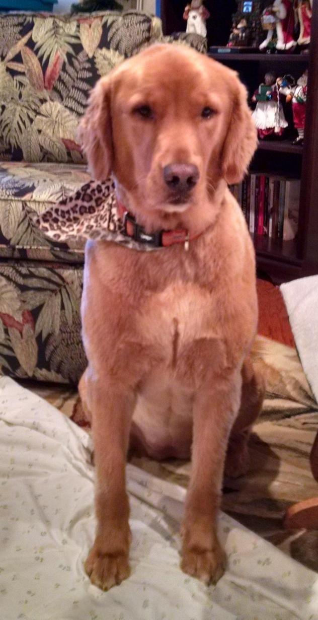 Adopt Bella On Golden Retriever Training Dog Training Dogs