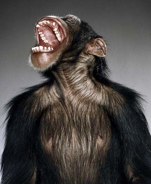 Primate Portraits   Primate Portraits-#17   Primate   Pinterest