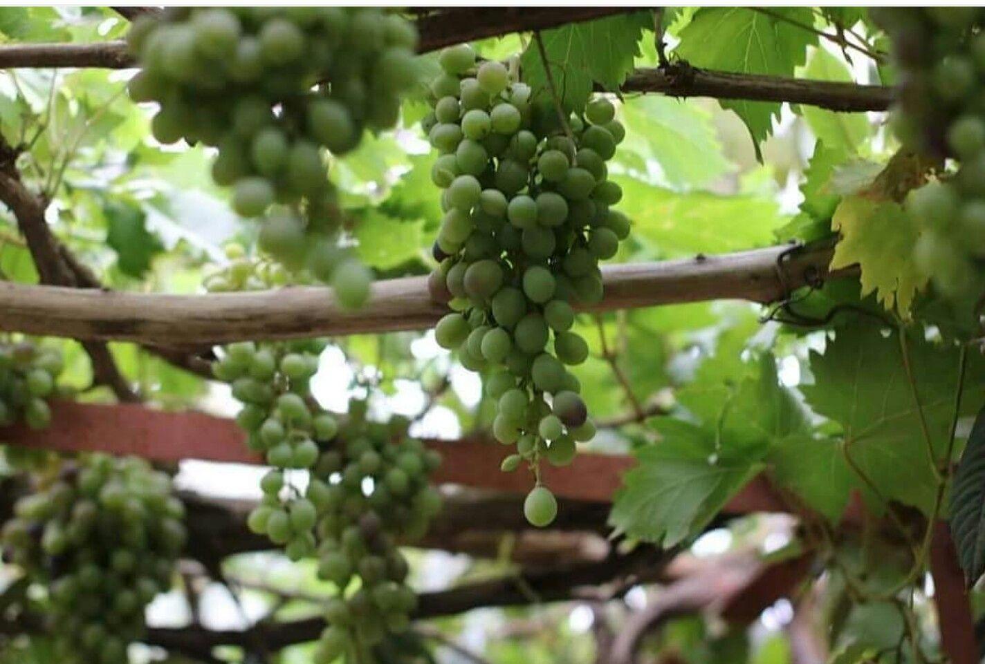 العنب اليمني Grapes Fruit Food