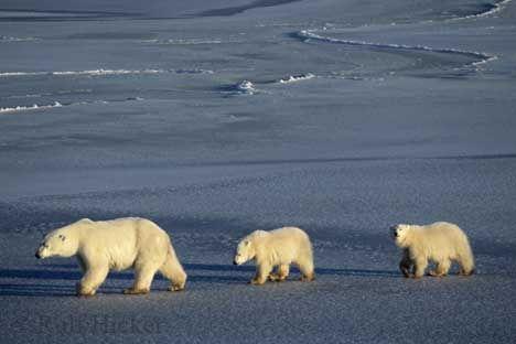 Churchill, Manitoba. Polar Bear, Ursus maritimus, Churchill, Manitoba, Canada. by acontompa on Flickr