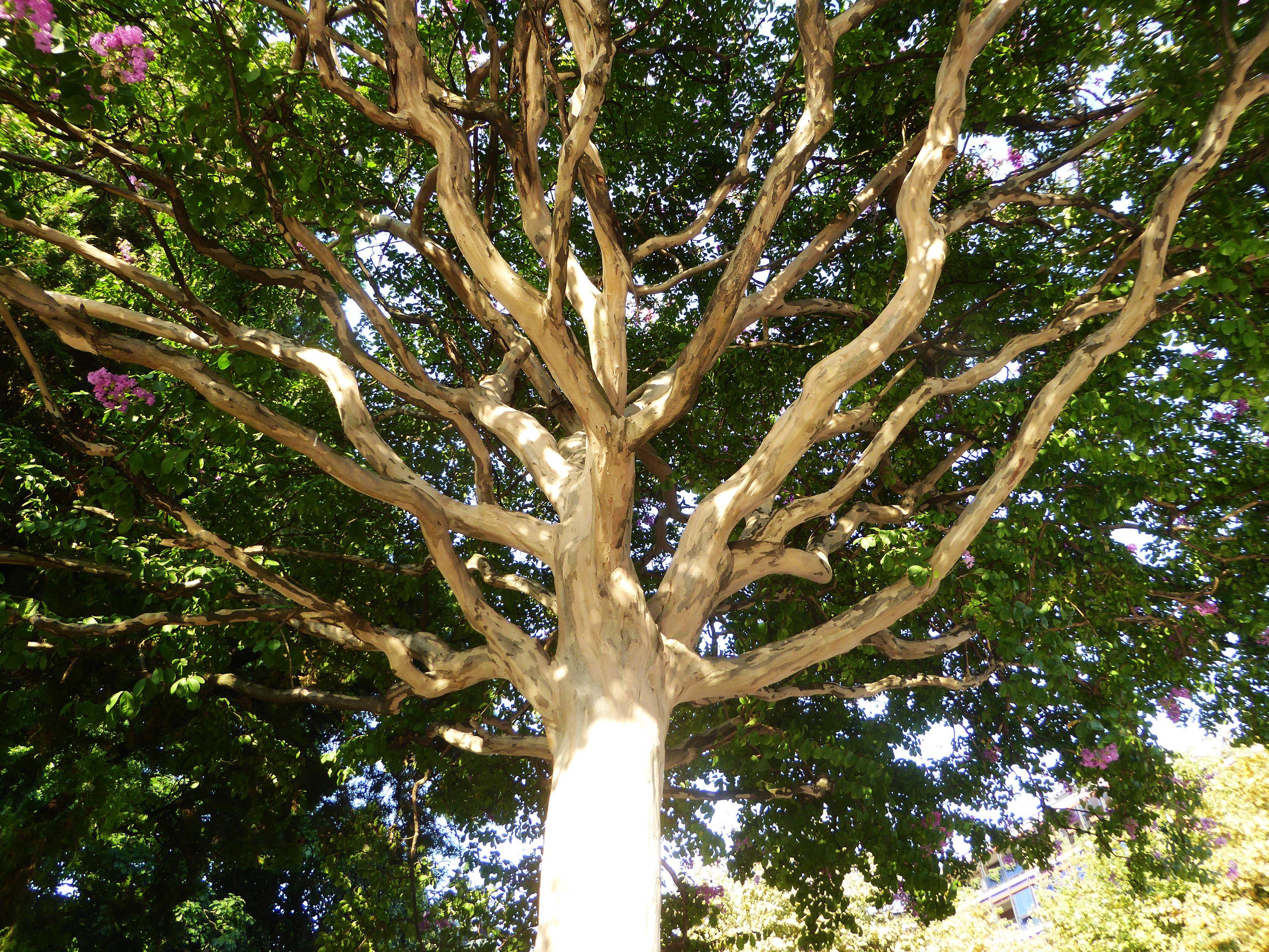 Albero Di Lillà multibraccia dell'albero di lillà (serenella - syringa