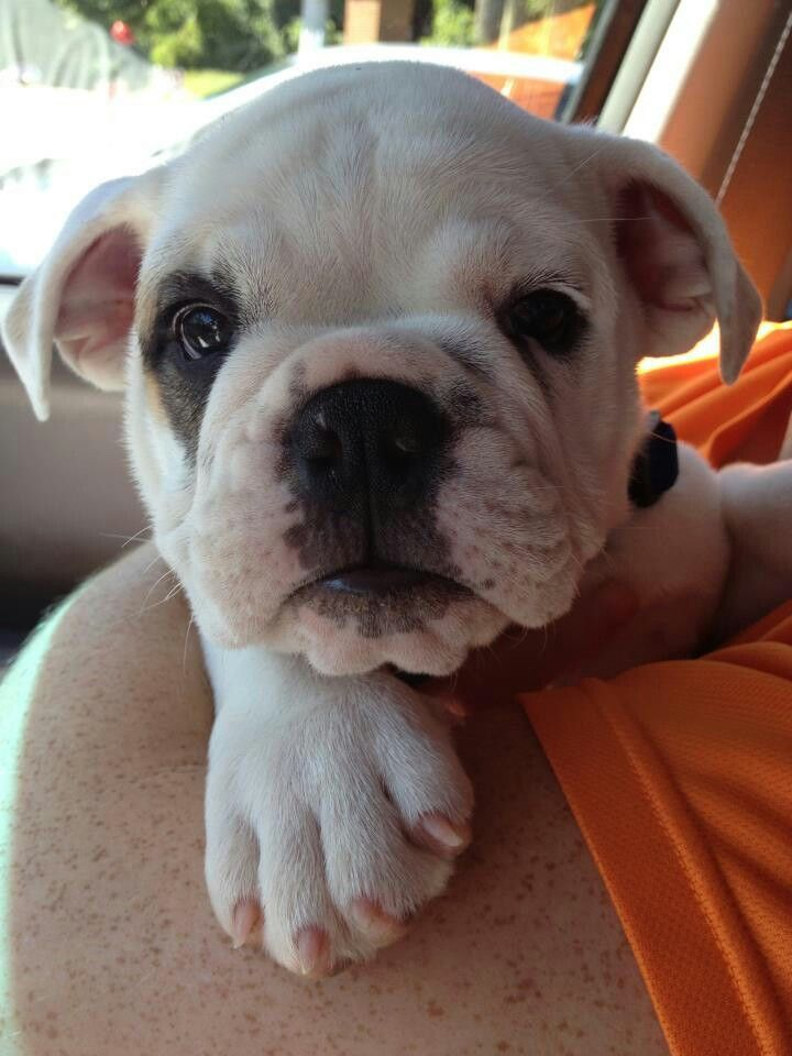 Boxer Puppies For Sale Cairns