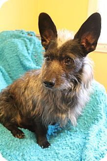 Bedminster Nj Cairn Terrier Scottie Scottish Terrier Mix Meet