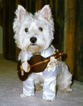 Elvis the Westie Logan39s next Halloween costume! This