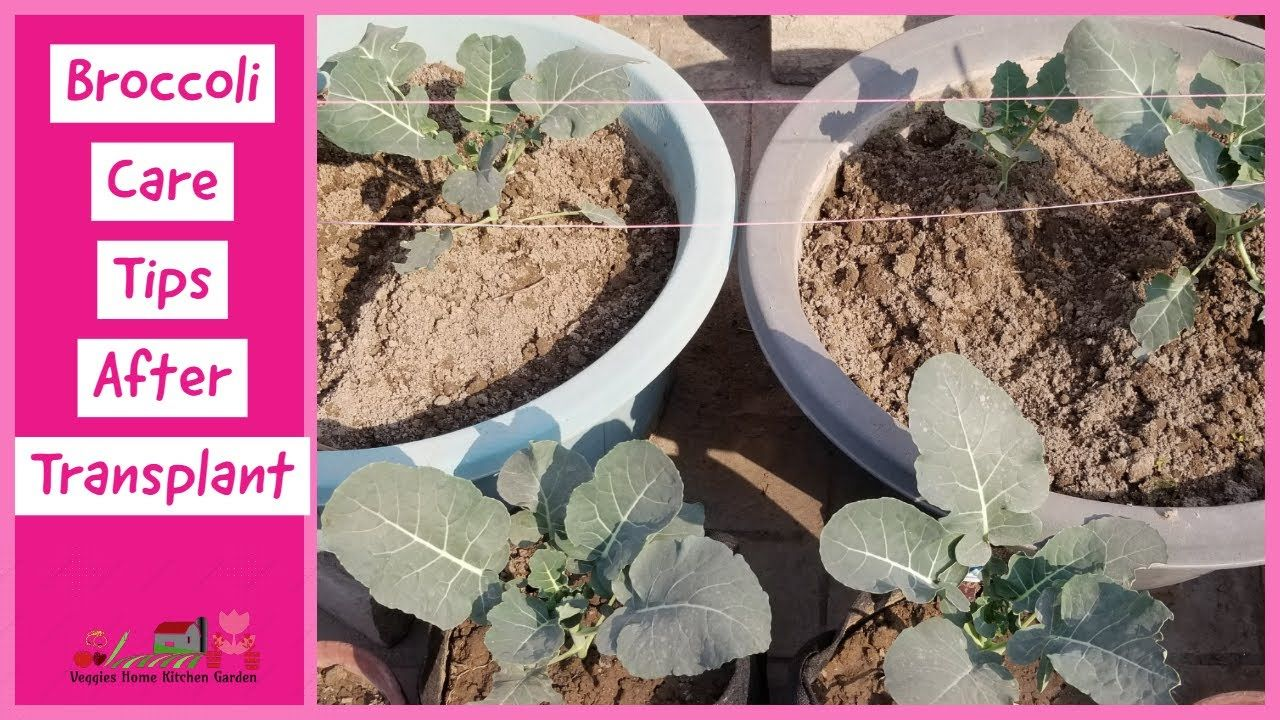 Broccoli healthy Plants stage after transplant of