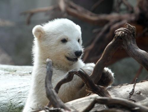 Baby polar bear <3