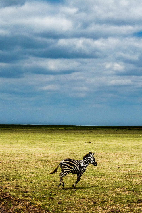 "expressions-of-nature: "" Zebra / Tanzania by: Milena Masini """