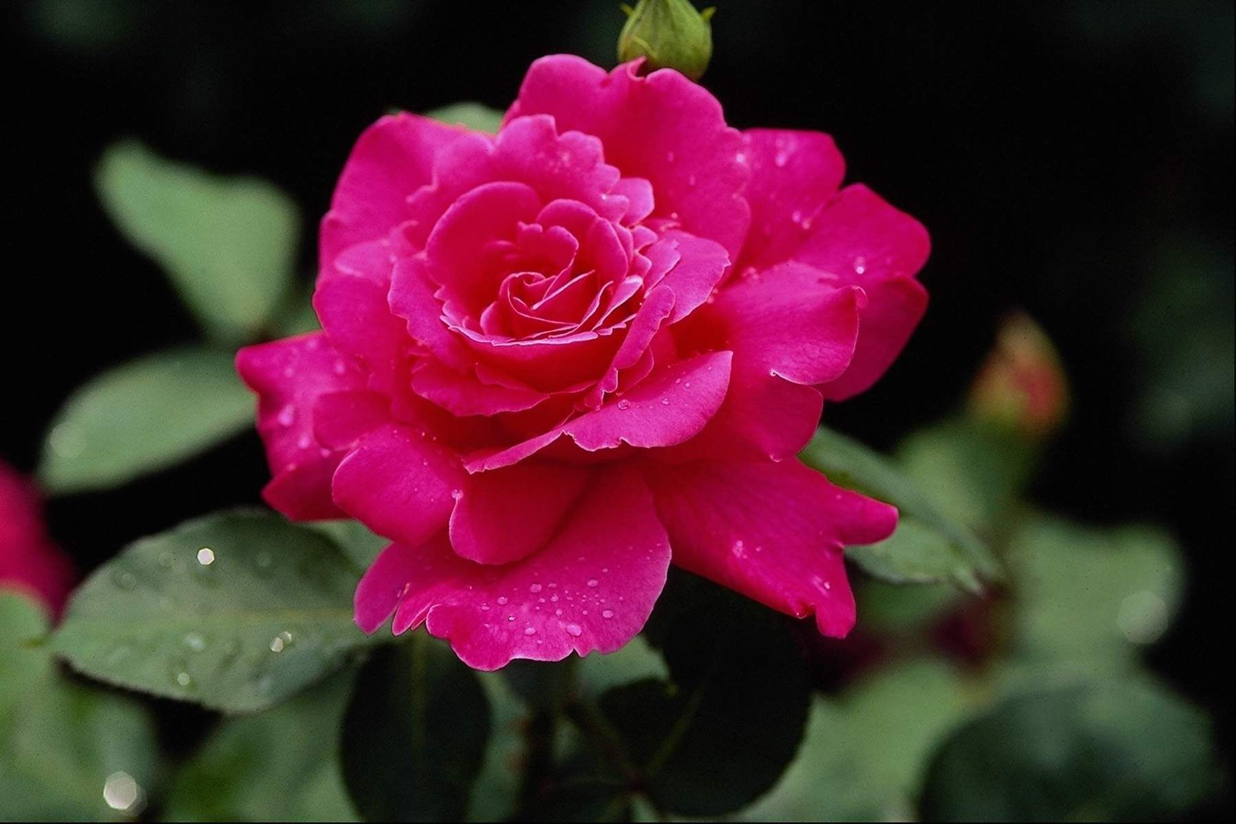 Beautiful rose flowers images and wallpapers download roses beautiful rose flowers images and wallpapers download izmirmasajfo Image collections
