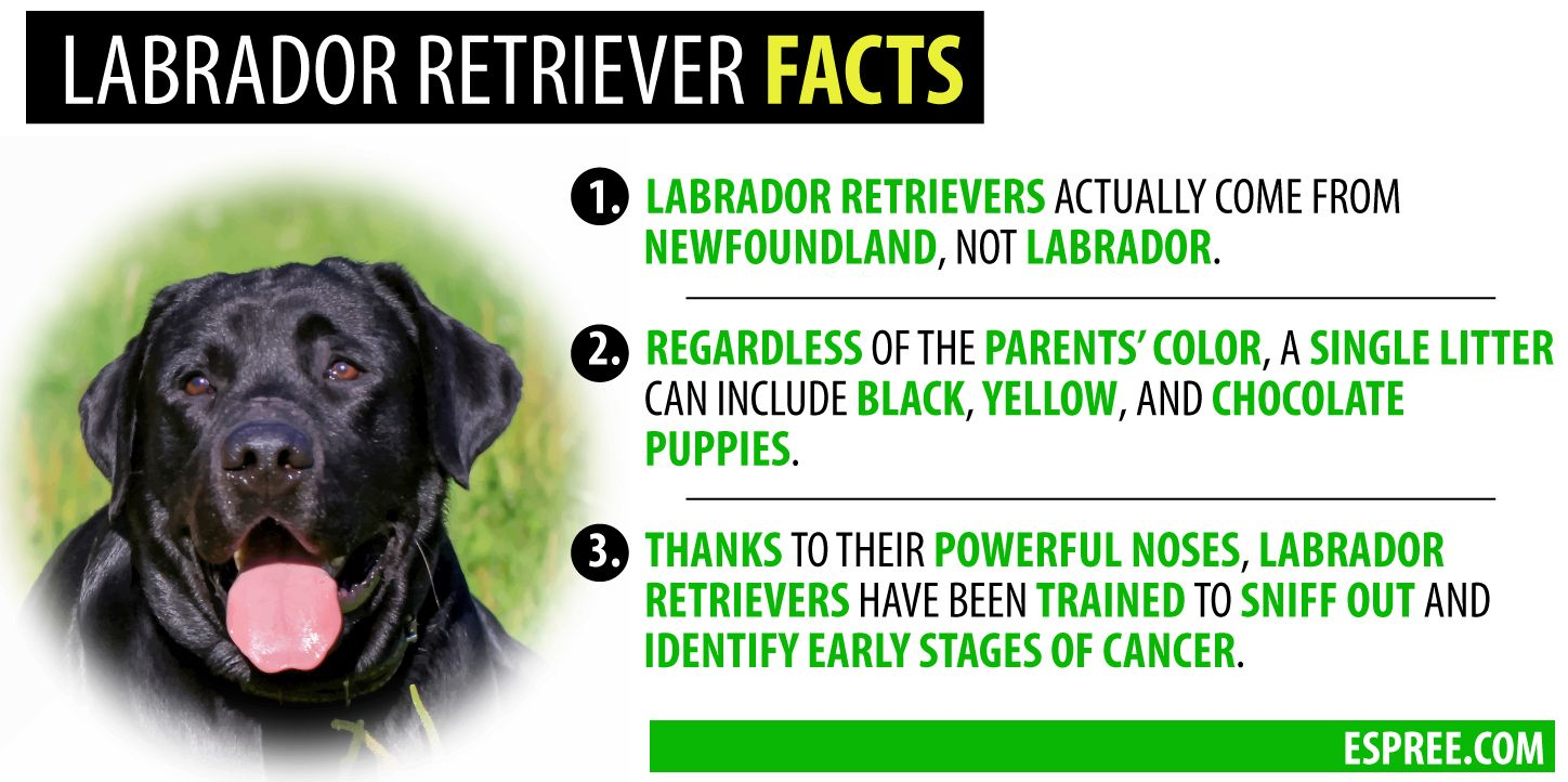 Labrador Retriever Facts Labrador Retriever Facts Labrador