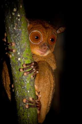 Bush Baby Borneo C Charles Ryan Mountaintravelsobek With Images