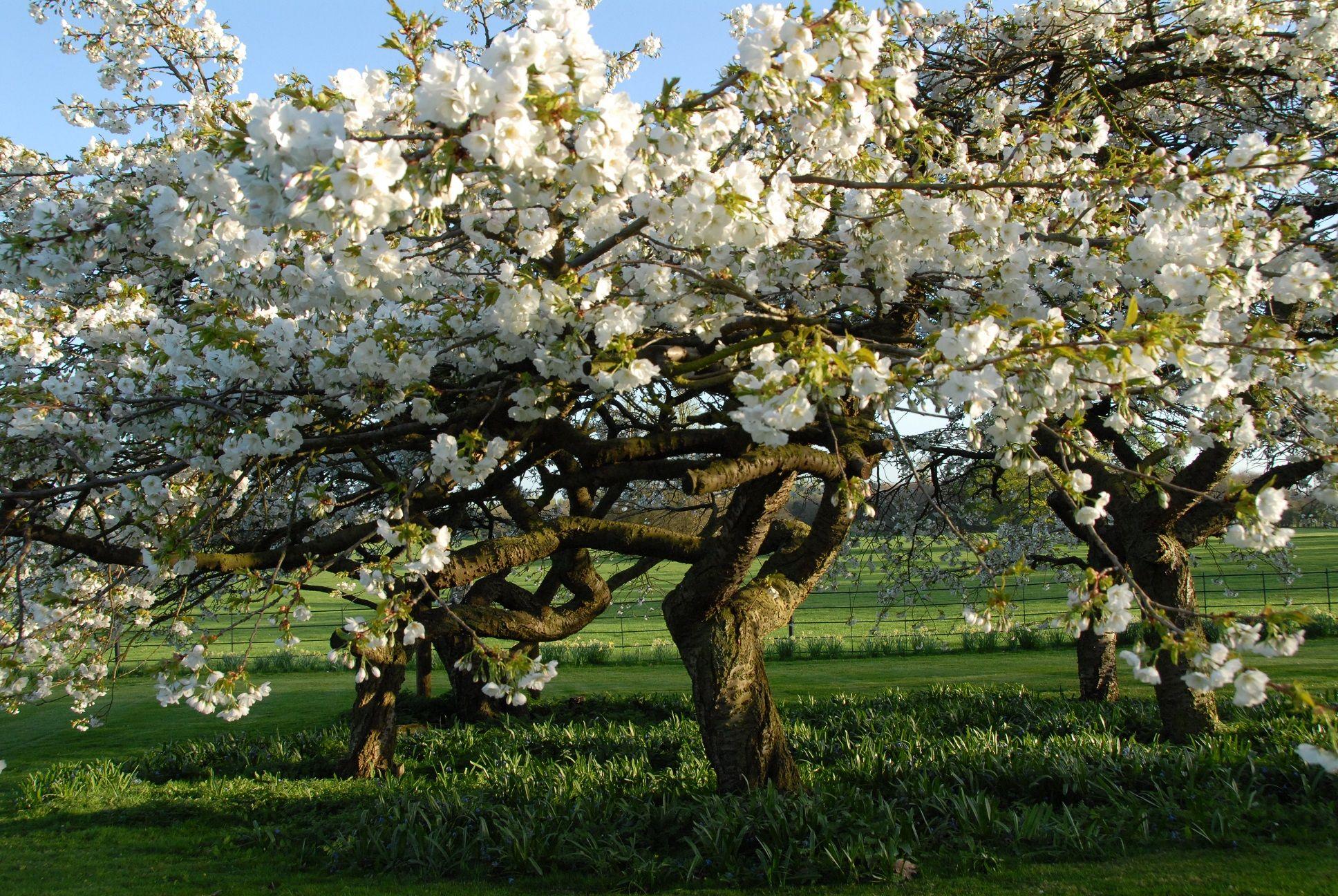 Emperor Of Japan S Cherry Trees Blossom Garden English Country Gardens Royal Garden