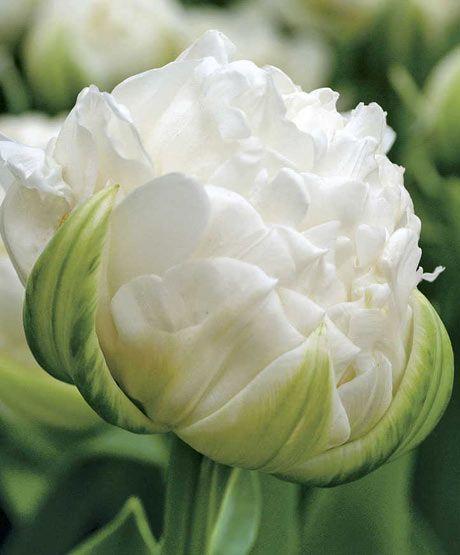 """""""Ice Age"""" Tulip"""