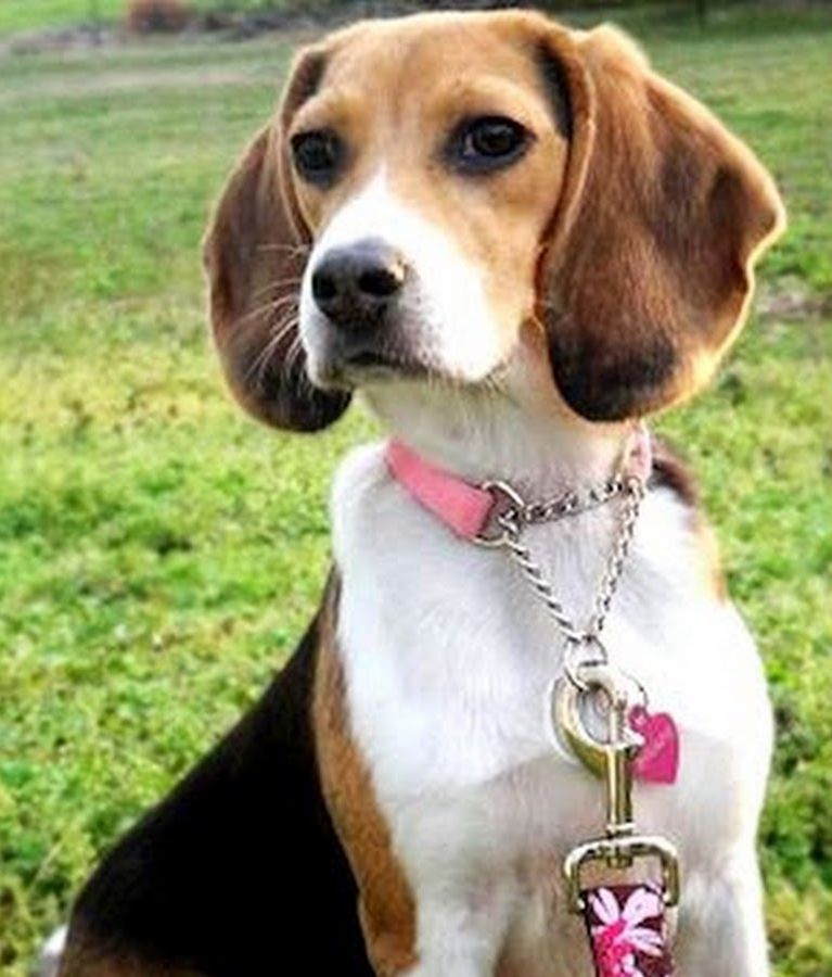 Top 10 Budget Friendly Dog Breeds Friendly Dog Breeds Beagle